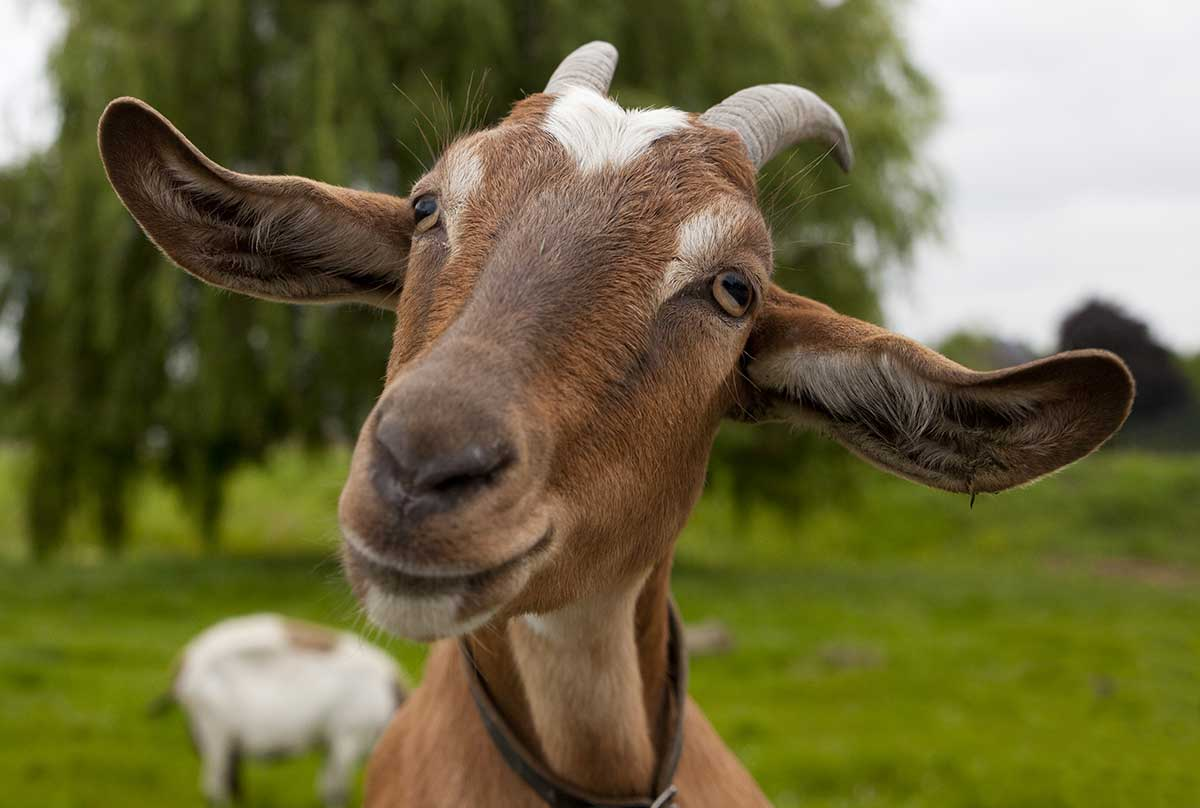 GOATS...SO CLEVER, SO FAST