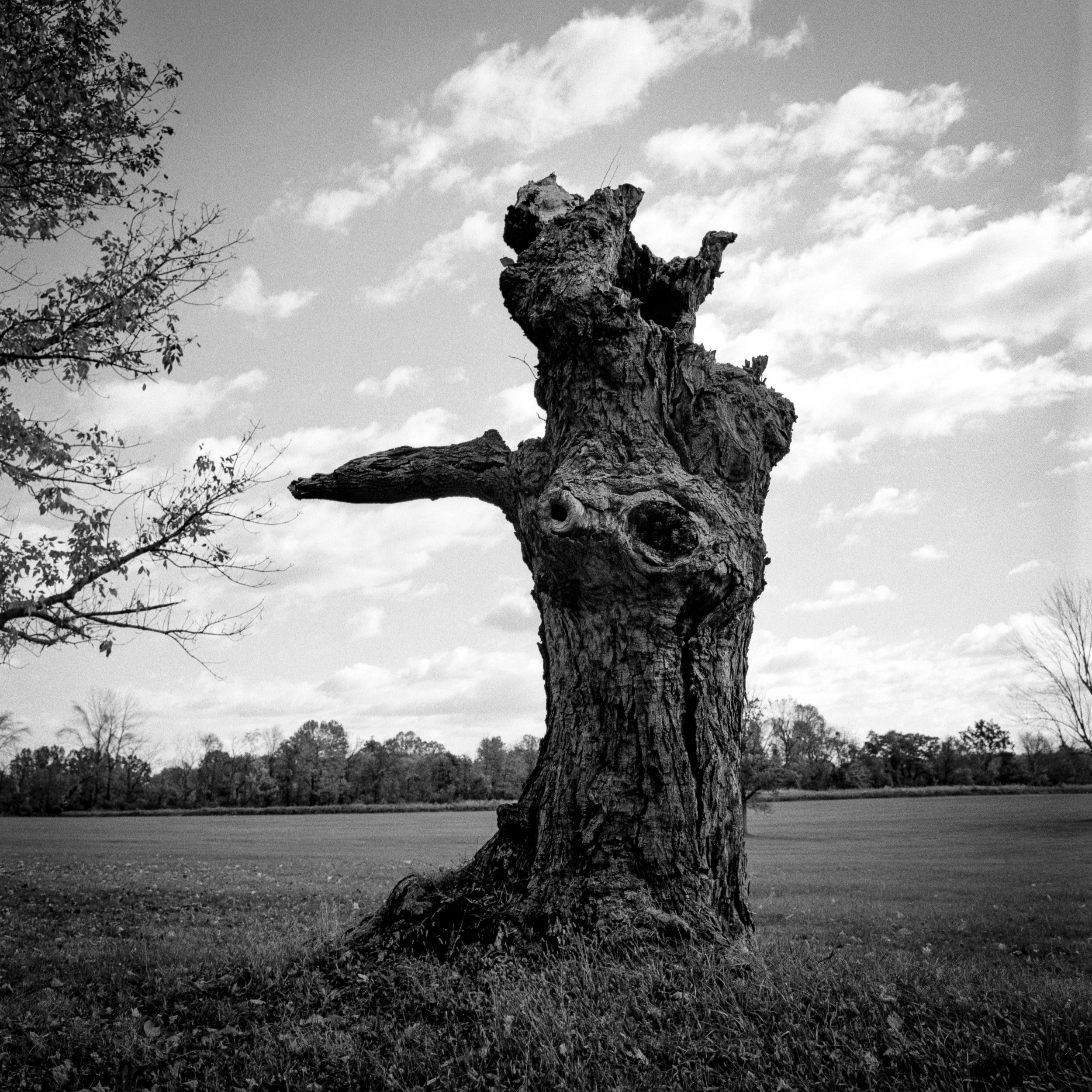 A Once Mighty Oak - 2016
