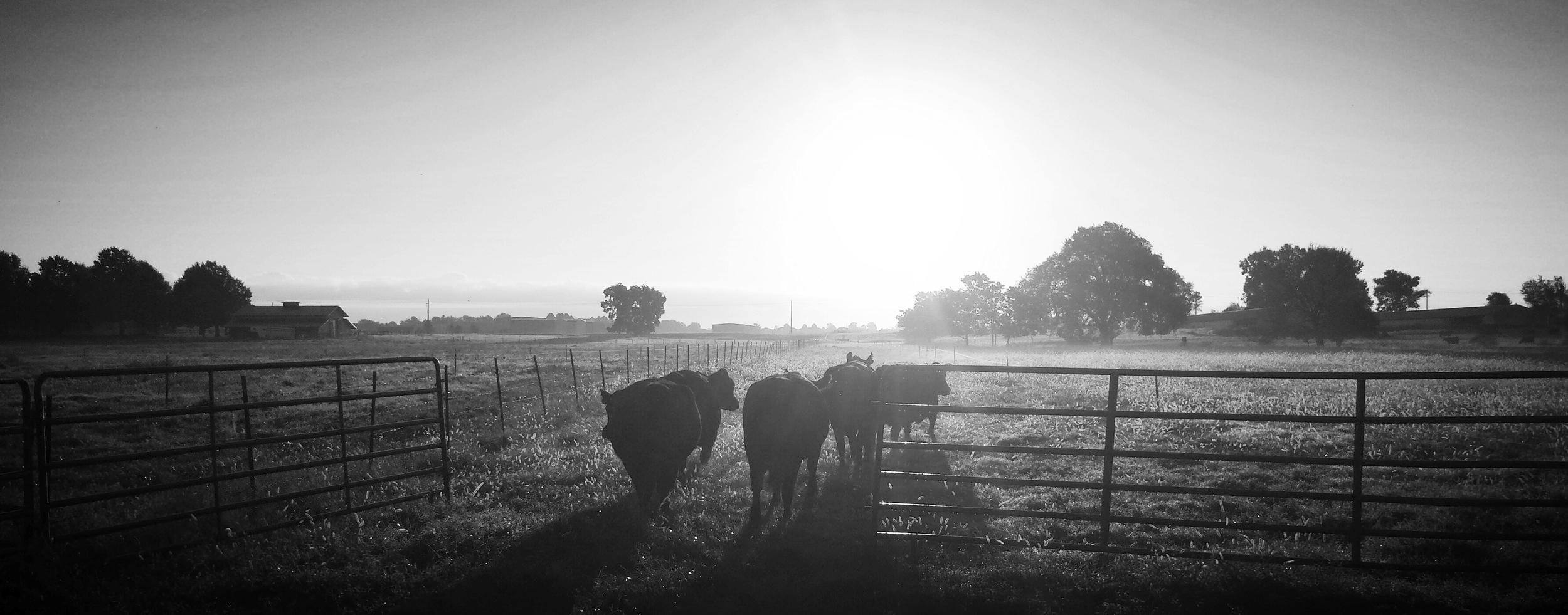 new cows.jpg