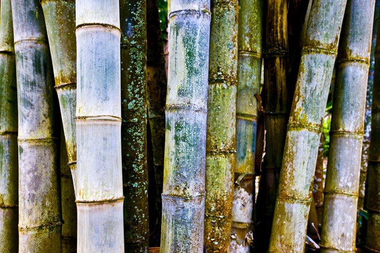 Chris Leidy  Tahitian Bamboo  pigment print on lustre paper available in: 30 x 45 in. 40 x 60 in. 48 x 72 in. edition 4 of 5