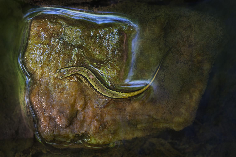 011_Salamander-4:24:16.jpg