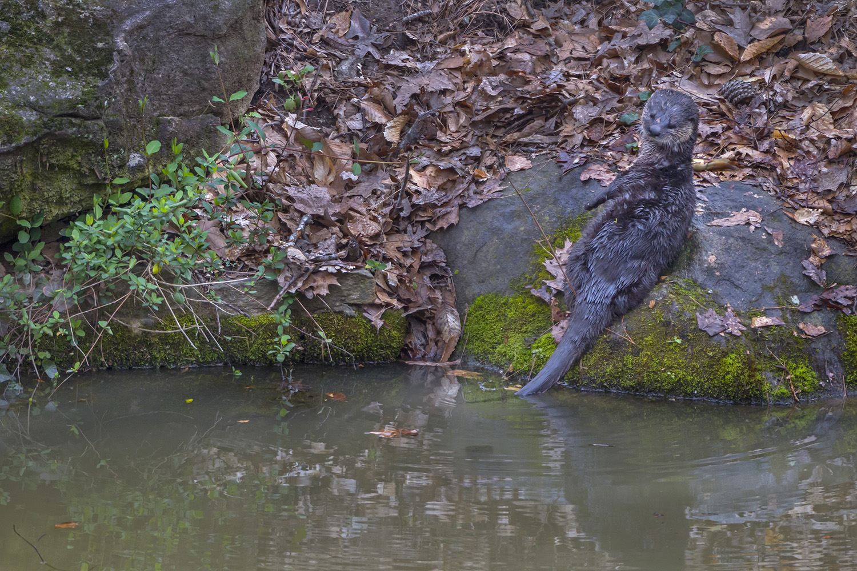 018_River Otter-3:12:16.jpg