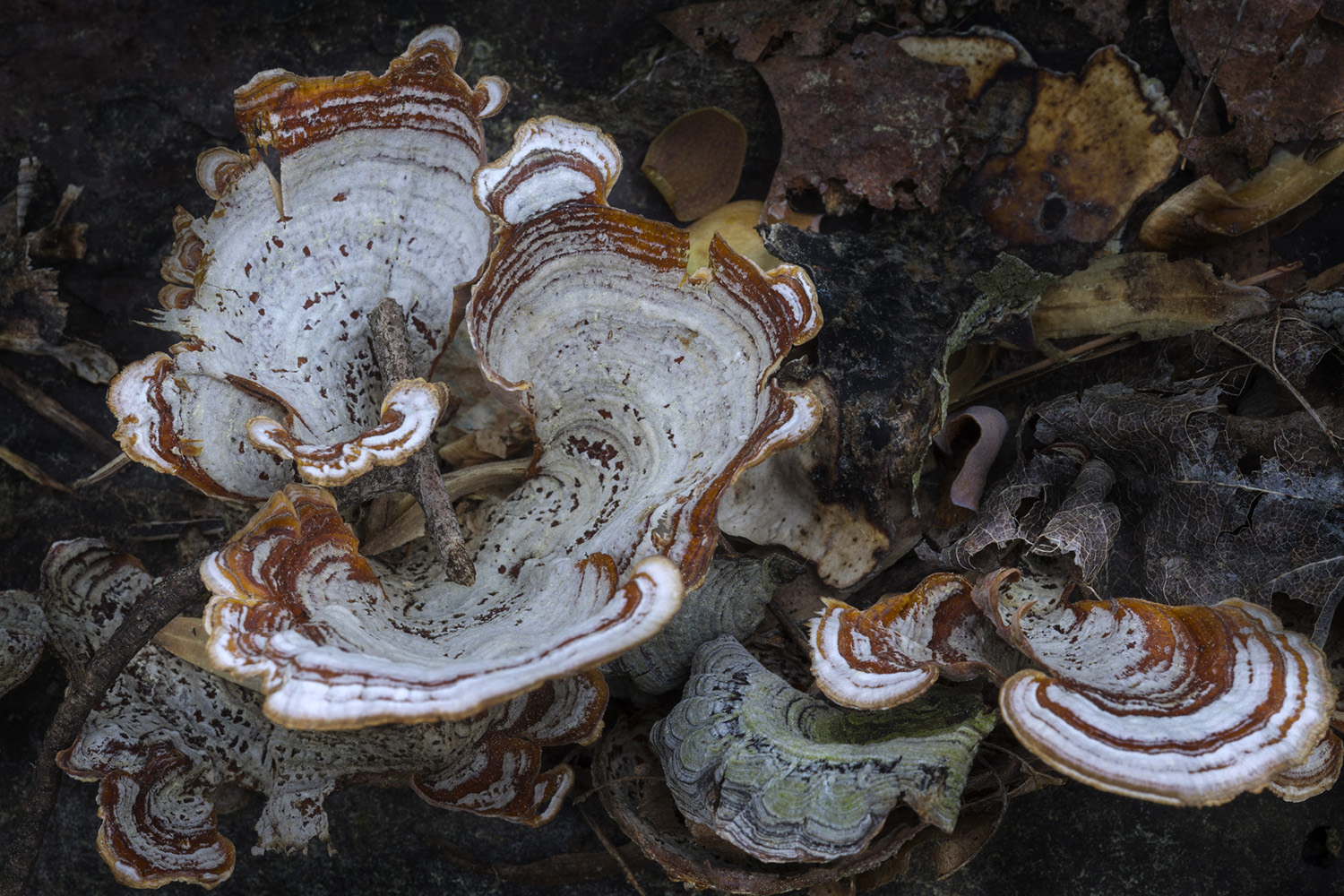 023_Turkey Tail Fungus.jpg