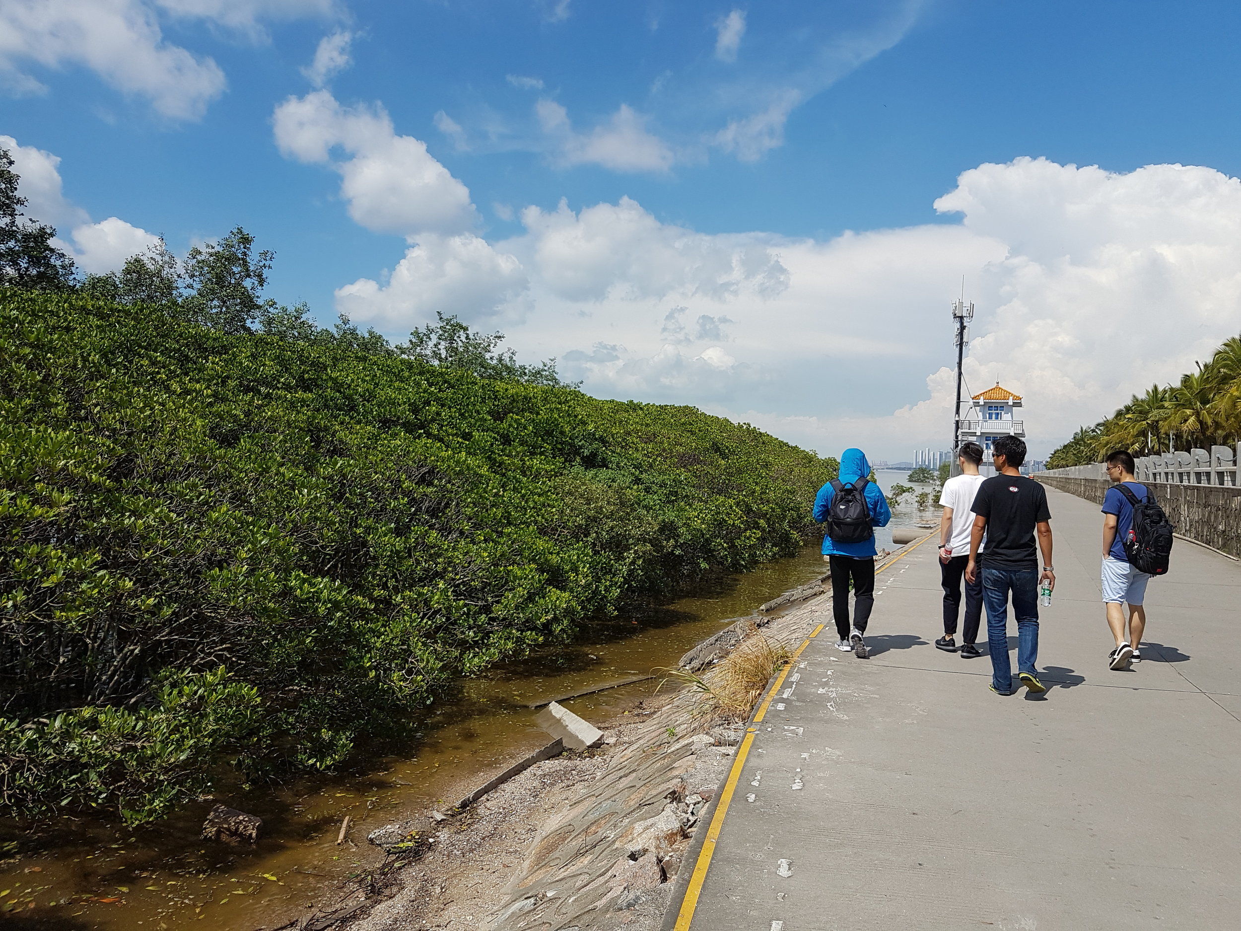 The coastal squeeze is a global problem for mangroves, with artificial structures such as this walkway preventing landward migration with rising sea level
