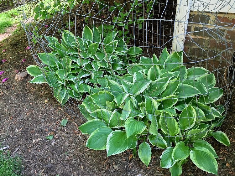 Hostas in jail