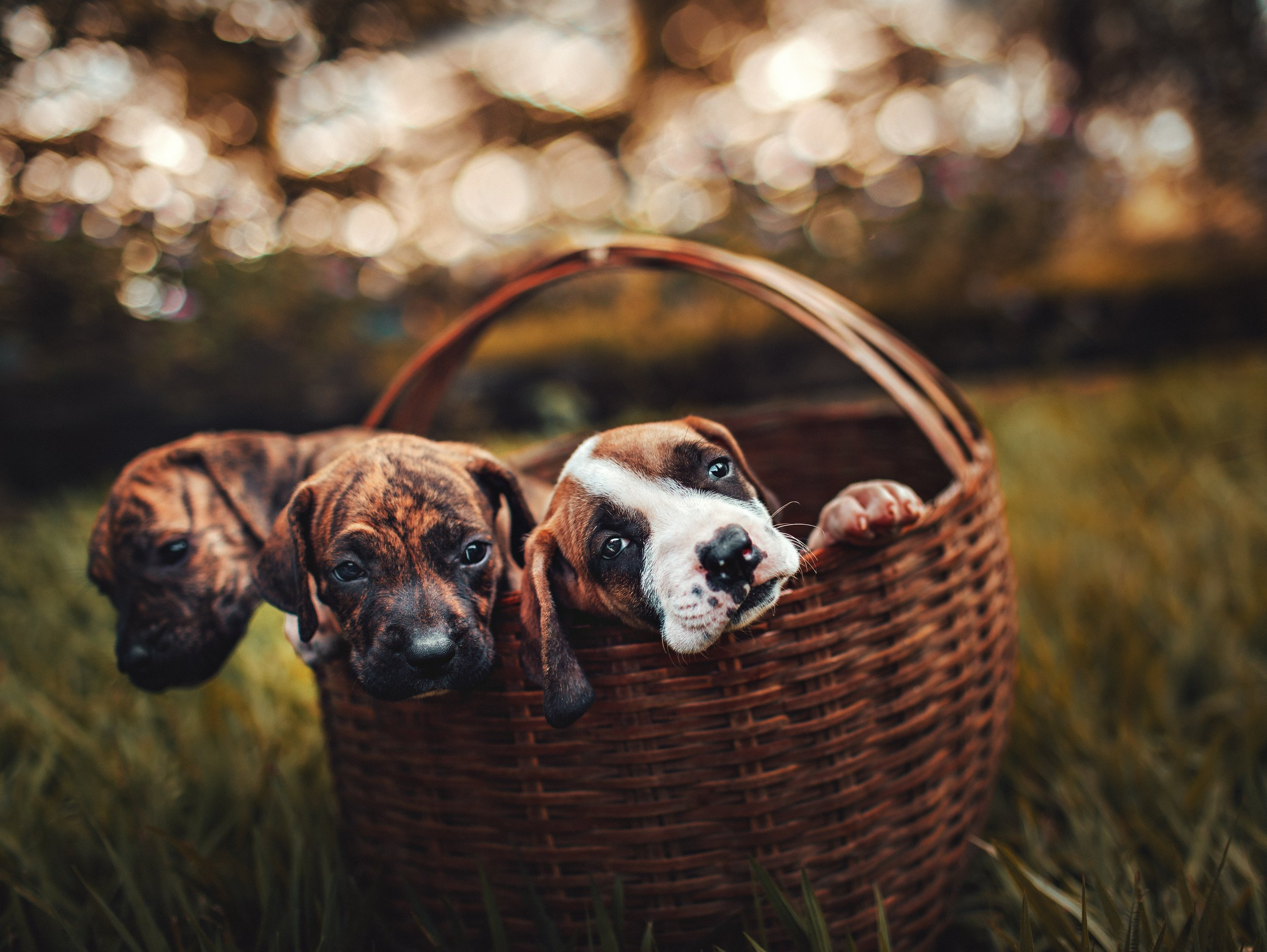 Three puppies lean their heads over the edge of the basket they are in, with a blurred background.