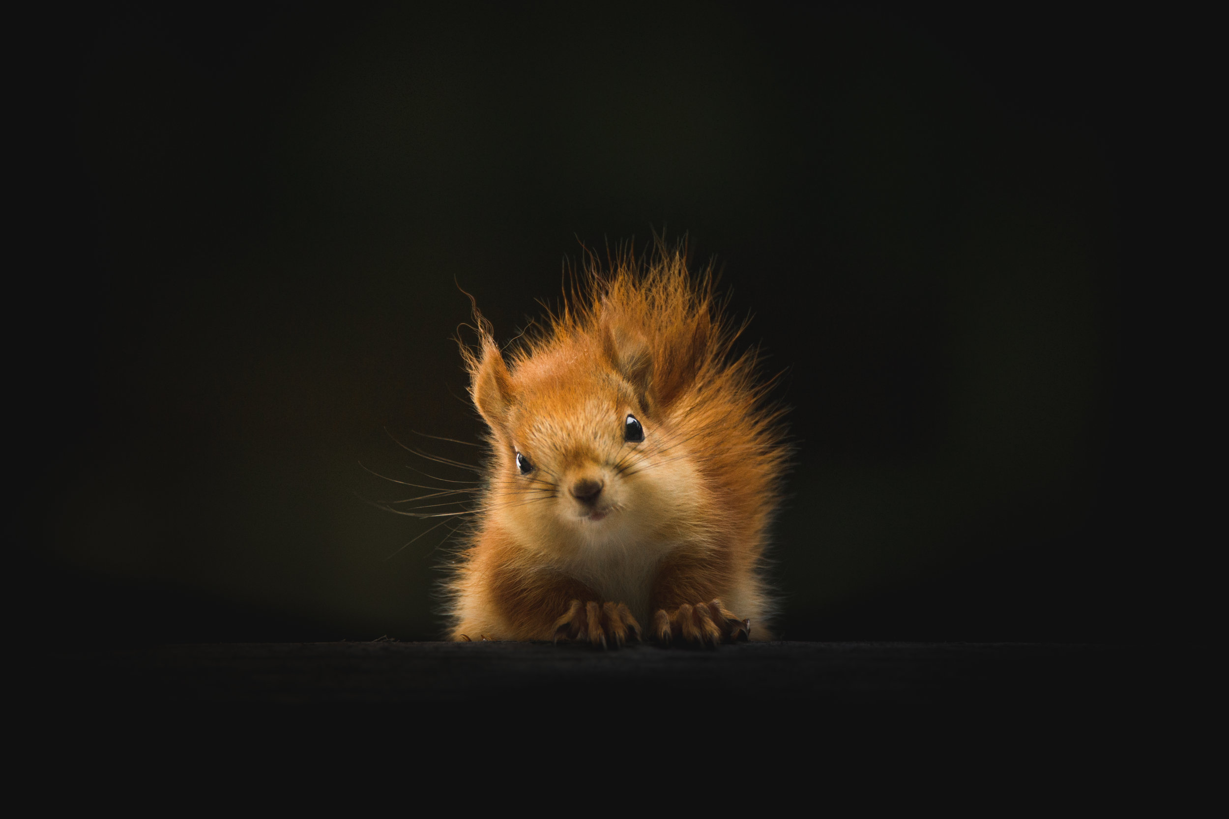 Red squirrel looking at the camera in front of black background.