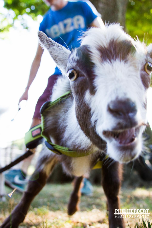 goat_picnic.jpg