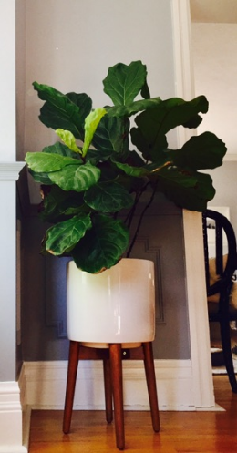 Now that's a happy plant!  Planter from West Elm...