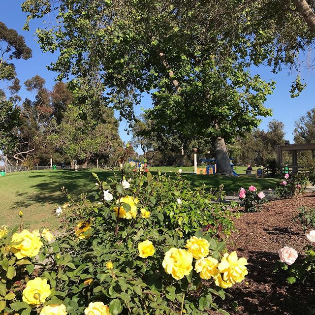 Beautiful rose garden at Barranca Vista Park 🌷