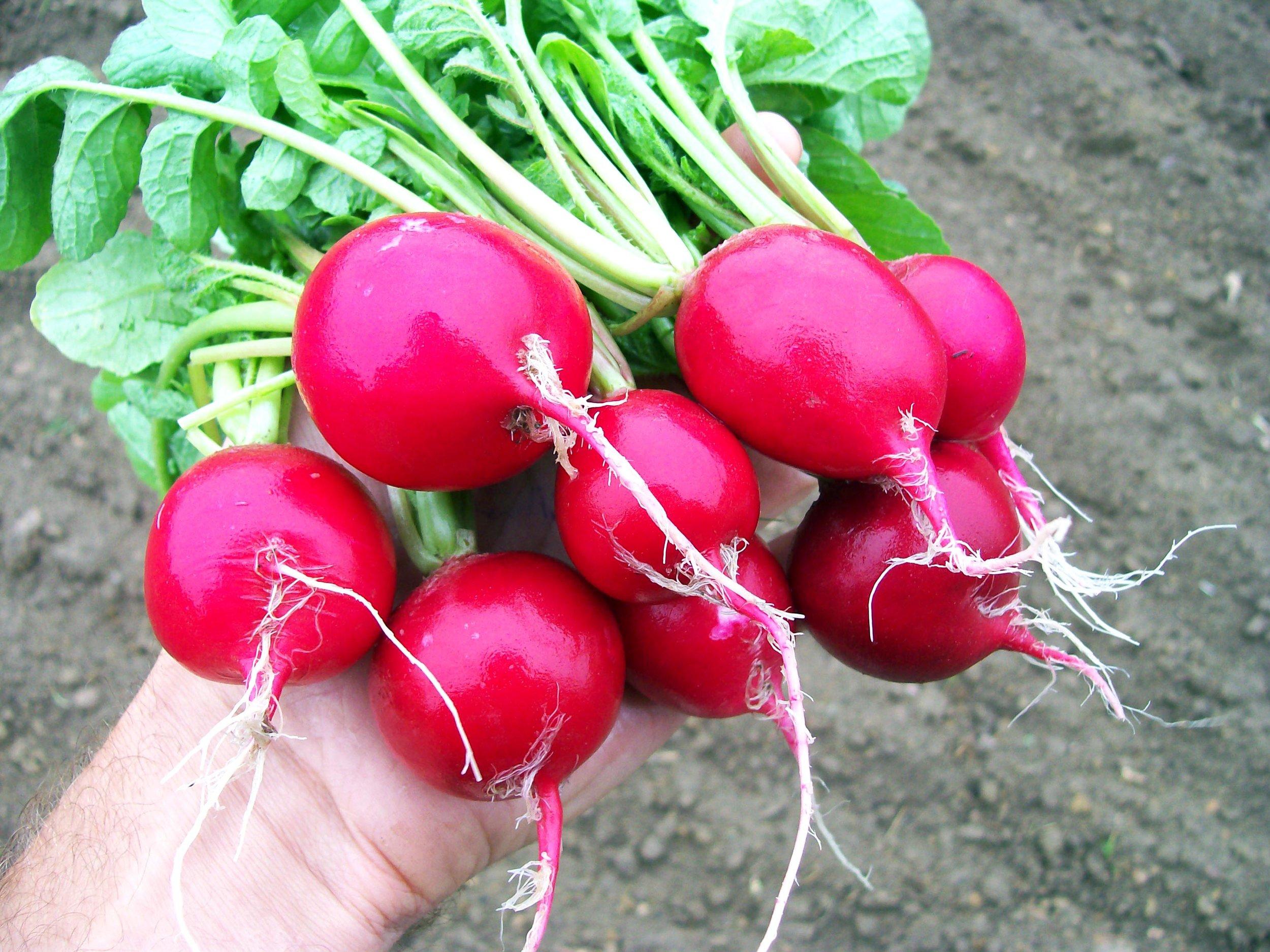 radish-cherry-belle_LRG.jpg