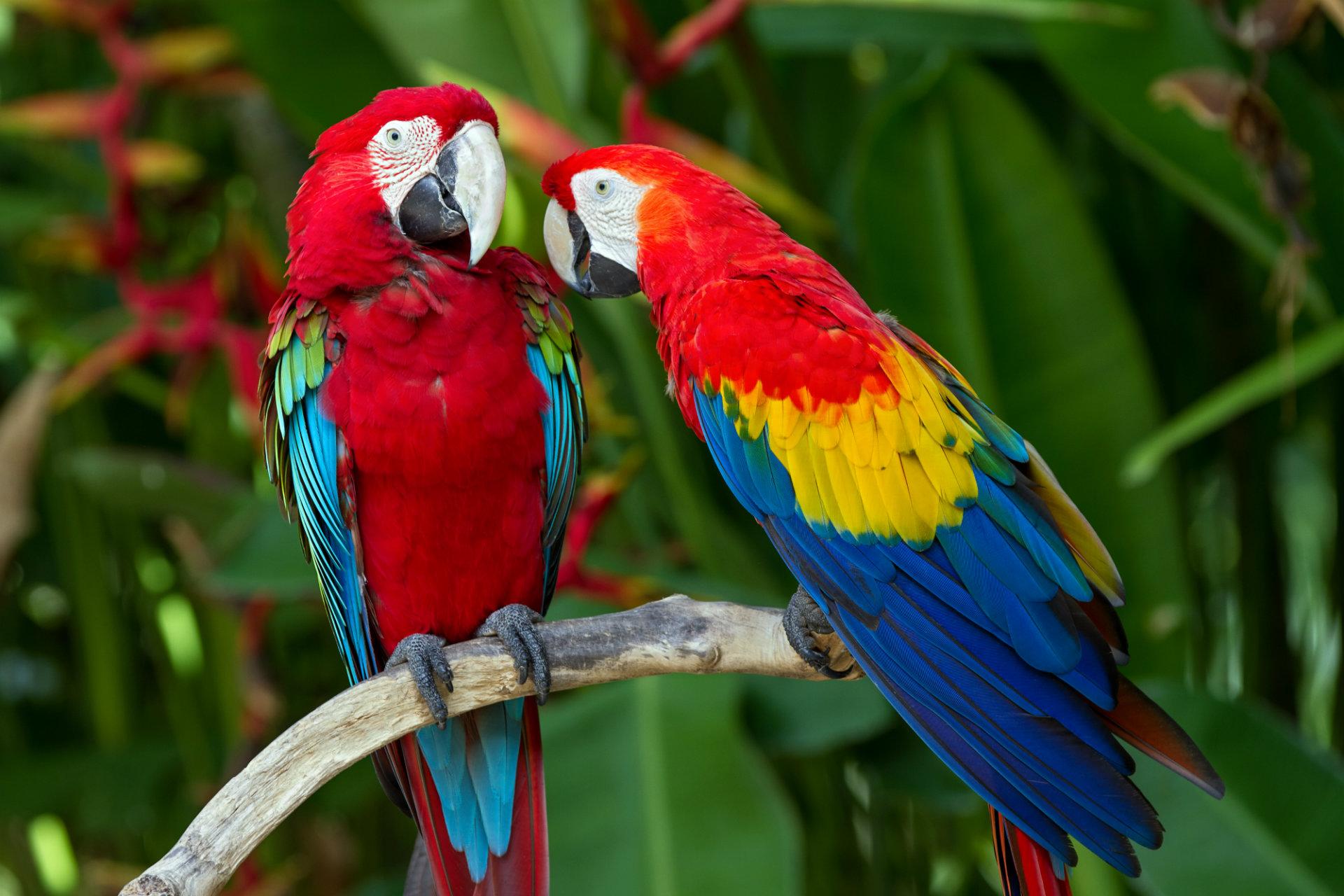 Macaw-parrots (1).jpg