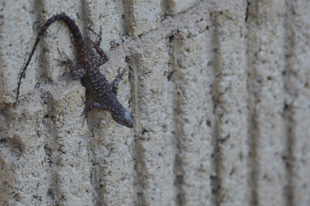 dark-lizard-on-wall.jpg