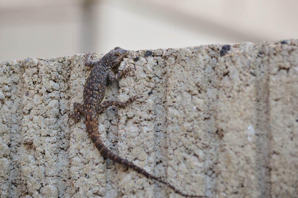 wall-climbing-lizard.jpg