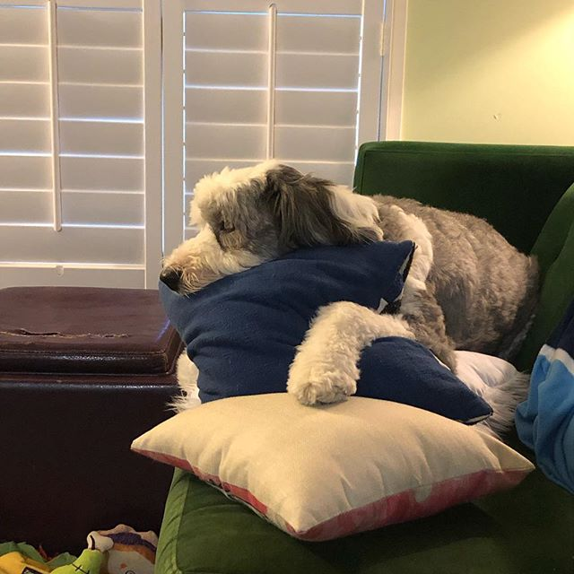 """#Sherlock is dreaming of his next adventure! If you haven't read his first one, look for """"Sherlock and the Baskerville Beast"""". Now available on Amazon, Waterstones, and corrinegosling.com  #baskerville #houndofthebaskervilles #sherlockholmes #oldenglishsheepdog #oes #dogsofinstagram #dogstagram #kidsbooks"""