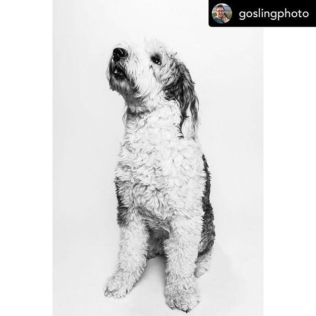 Posted @withrepost •  @goslingphoto Adler, Old English Sheepdog, 4 years old. . . . . . #art #bhfyp #puppiesofinstagram #winter #petstagram #hund #picoftheday #doglife #fun #life #beautiful #snow #f #pup #funny #smile #dogsofinsta #lovedogs #adorable #followme #photo #instagramdogs #cachorro #doglove #family #petsofinstagram #dogsofinstaworld #friends #chihuahua #cutedog
