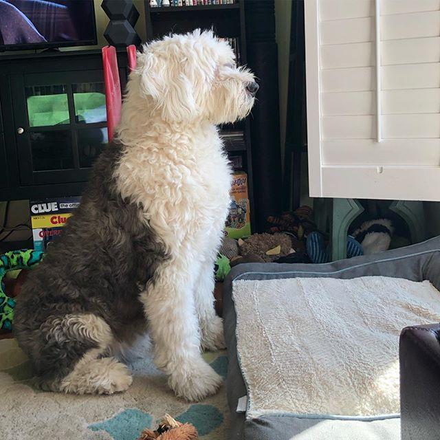 I imagine this is what Sherlock would look like in the field watching over his herd. A true sheepdog at heart!  #sherlock #oes #oldenglishsheepdog #doggo #herdingdog #guarddog #dogsofinstagram #dogsofinsta #dogstagram #dogs #sheepdog #sheepie #bobtail #perfectpose #perfectposture