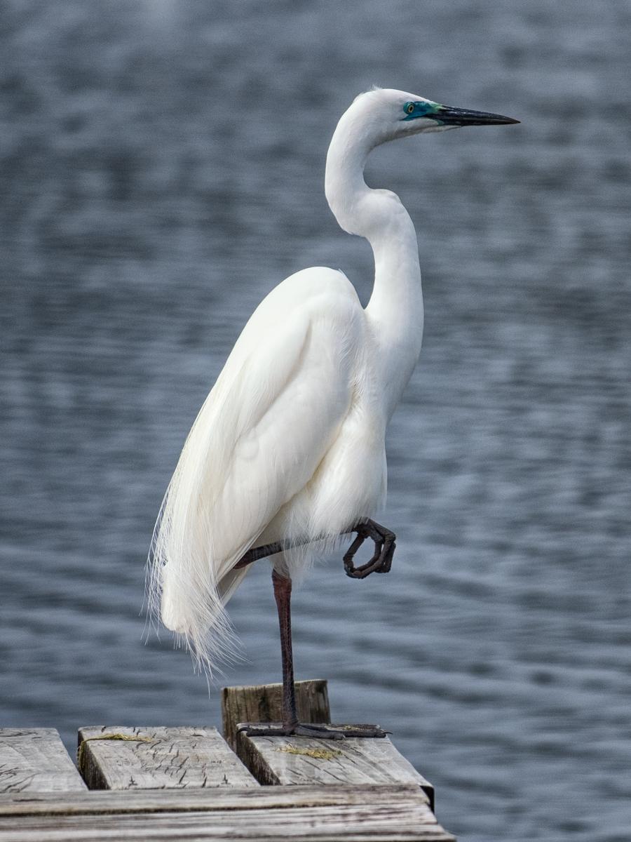 Kotuku  - the rare White Heron