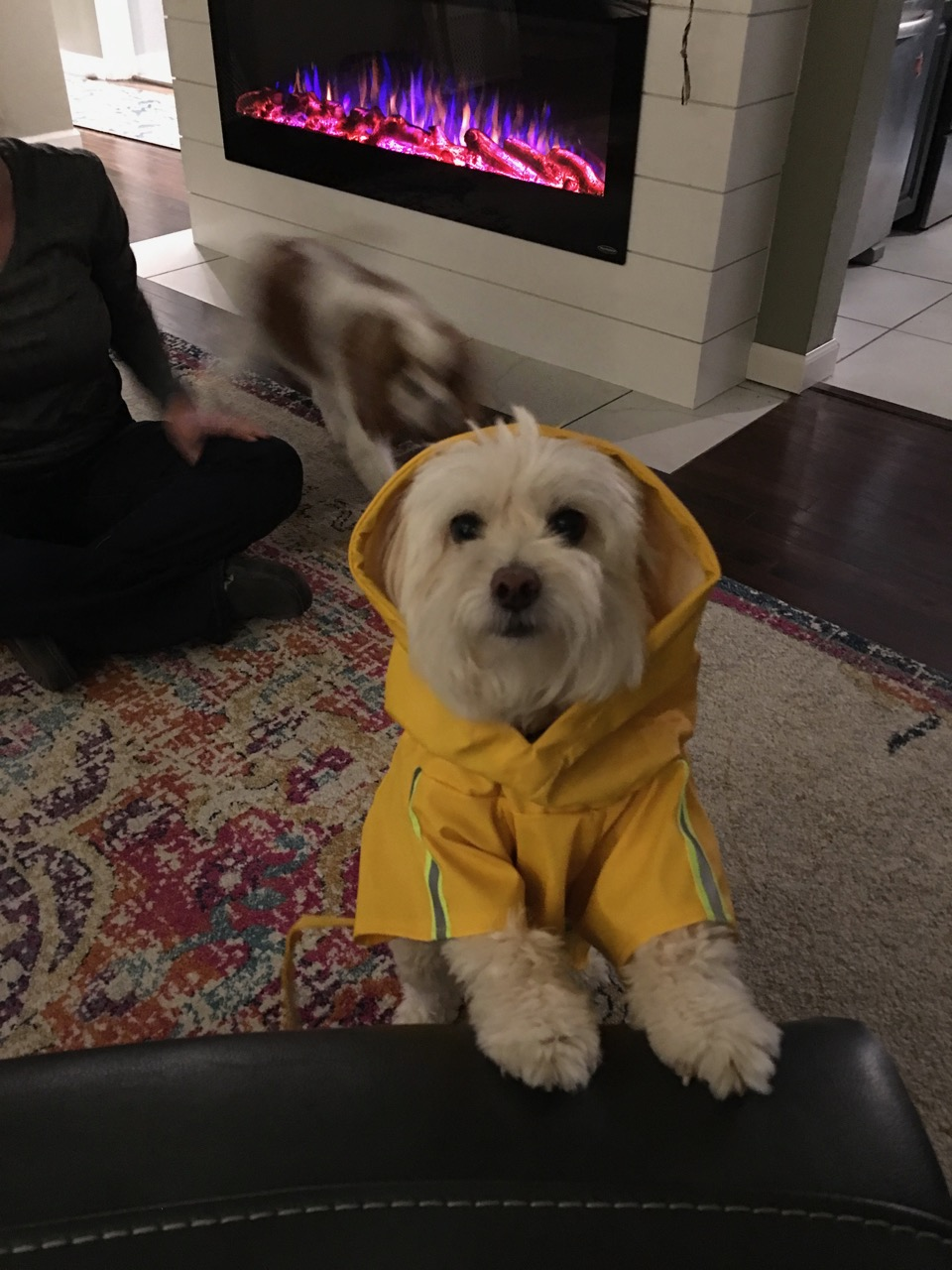 Thor the pomapoo where a raincoat