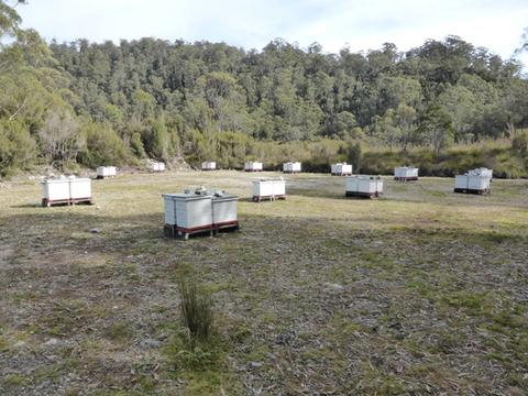 As we drove through the Franklin River World heritage Area, between Lake St Clair and Queenstown, we found at least ten loads of beehives, with roughly 100 hives in each apiary. Placed here and on the west coast for the leatherwood, the hives in April were being prepared for the winter