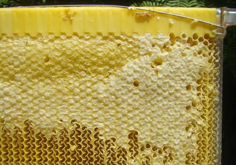 The cells are now 'split', and the honey has drained down inside the comband out of the hive. Even though the wax capping has only been partially disturbed, the honey can still flow freely to the bottom of the frame.