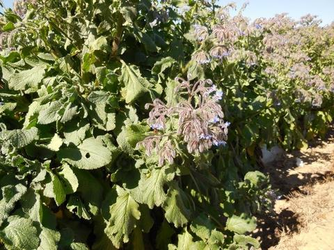 Close up view of the Borage shrubs, showing the prolific flowers utilised by the bees as a source of pollen