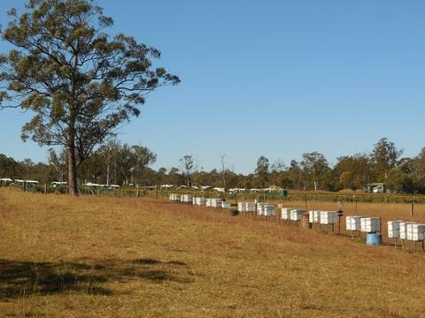 The placement of the bee hives in relation to the strawberry crop, with the border of Borage alongside the closest edge of the crop