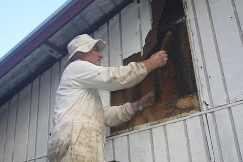 Bruce removing a feral colony from the school