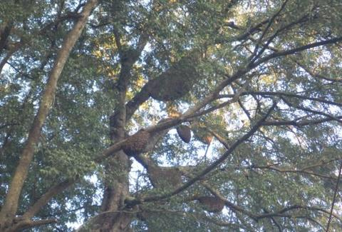 Apis dorsata  colonies in trees