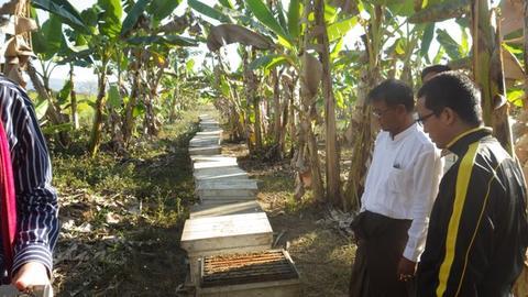 Apis mellifera  hives under bananas- Kalemyo, Myanmar