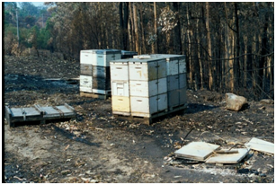 These hives burned, even though there was only very short grass under the pallets (Wandandian fires, 2003)
