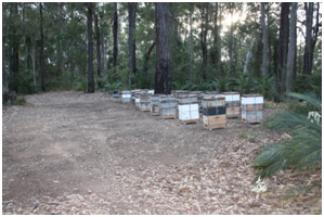 These hives would be more likely to survive – similar preparation saved hives in the Wandandian fires of 2003. The leaves and debris have been raked clear, and a gap of 2m surrounds the hives