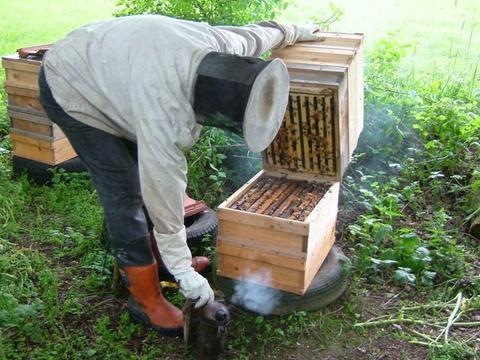 A Carniolan hive in Germany. With no excluder, the queen is mostly laying eggs upstairs, so it is possible to quickly check from underneath for the presence of swarm cells. Each box can be checked this way – not foolproof, but efficient.