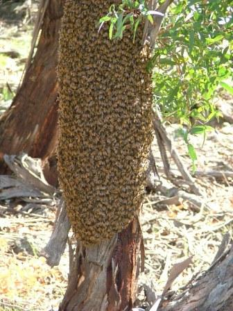 Not an easy swarm to hive – it is clustered around the trunk of the tree. It will probably be possible to collect bes on a frame or two, and to then induce the bees to 'walk' into the hive brood box.