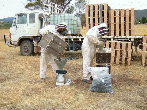 Fig.3 Transferring bees from the cage into the packages.