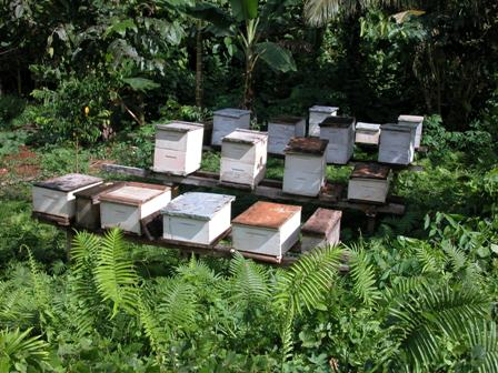 A well cared for larger sized apiary on Malaita. Malaita is still free of A. cerana