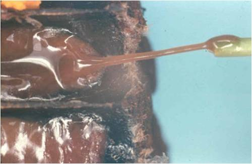 Figure 3. When the larva first dies the diseased material ropes or strings out when touched with a match. Later the diseased material dries to form a black scale.