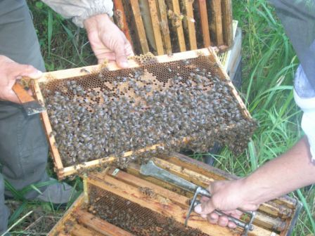 Frame of bees (note the hive tool)