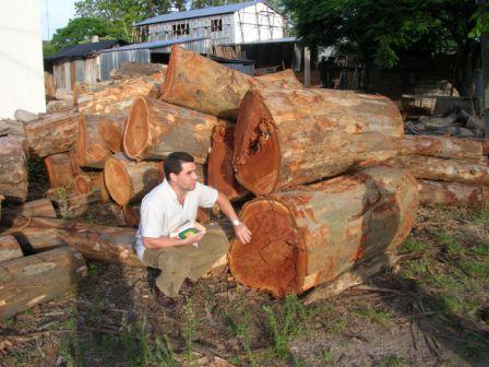 Cut plantation logs of Eucalyptus tereticornis