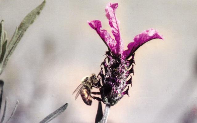 Bee on lavender Photo courtesy Jesse McDonald