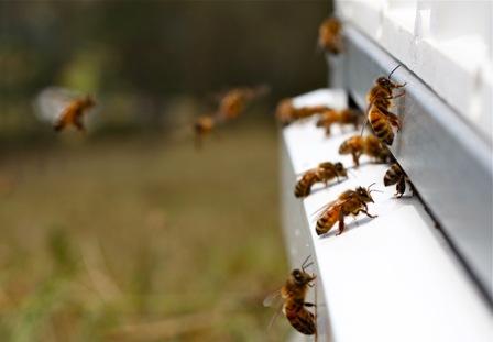 Bees at Monkerai, NSW Photo courtesy Ashlee Ralla
