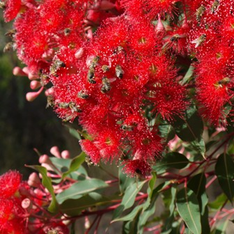 Honeybees on Red flowering gum (Corymbia ficifolia) flowers. The trees were planted at Paracombe (in the Adelaide Hills) as ornamentals in a beekeeper's garden, and at the time of flowering were 4 years old Photo Courtesy Lynton Stone