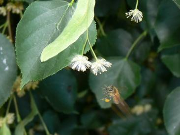 A honeybee captured in flight as it collects pollen from a Linden tree in a Canberra suburban backyard Photo courtesy Bruno Ehrensperger