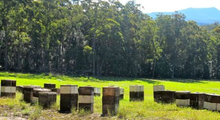 Bees caught in the afternoon sun, while working Spotted gum on the NSW South Coast this winter. Pigeon House Mountain is in the background. Photo Courtesy Ashlee Ralla