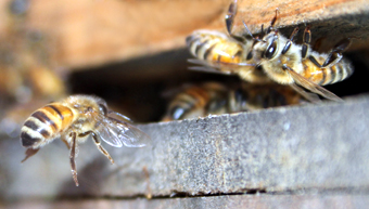 A bee in flight captured on camera as she enters the hive Photo Courtesy Joel Mackay