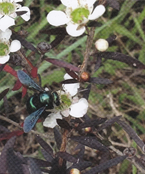 A Carpenter bee, one of the larger species of Australian native bees, on a Leptospermum flower      Photo courtesy of Tanya Chilcott