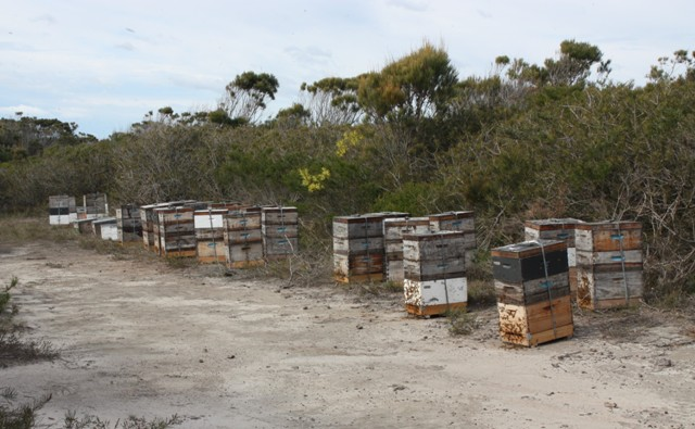 Bees ready to overwinter on Tea Tree, on the NSW South Coast