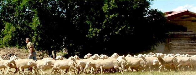 Lacaune Ewes