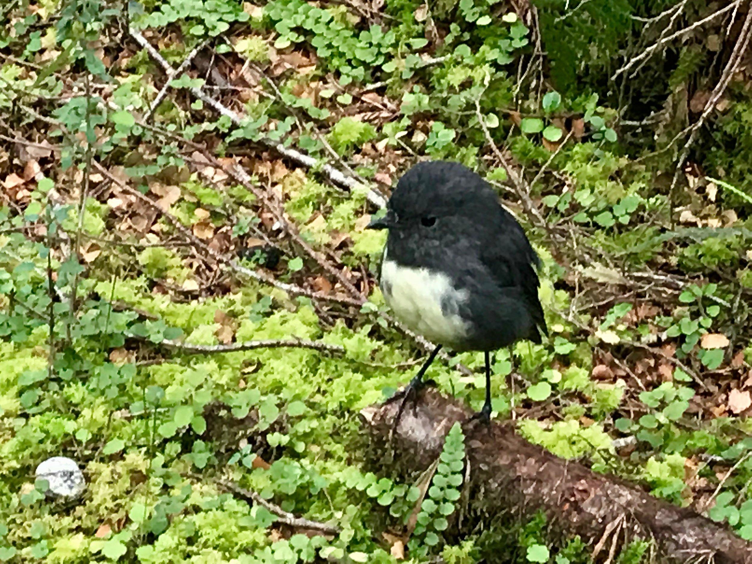 South Island Bush Robin