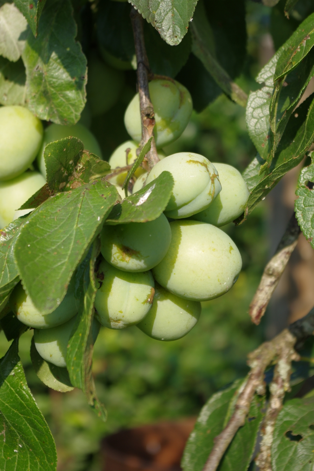 Plums in the garden at Discover England Tours Church House B&B